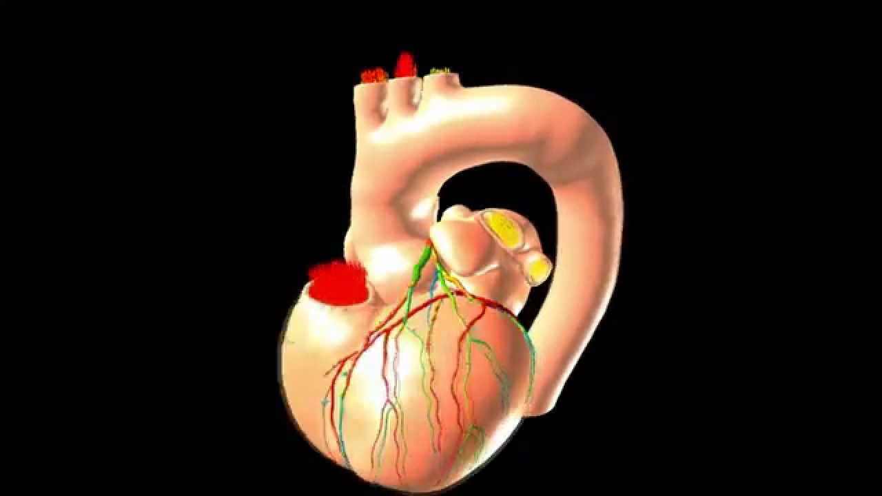 Heart simulations at the molecular level